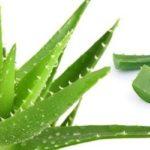 Aloe vera: proprietà e benefici della pianta