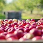Agricoltura, cresce la produzione di mele negli ultimi decenni