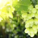 L'uva un frutto energizzante: alimento medicinale
