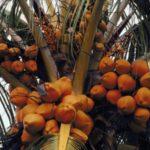 Olio di palma nei biocarburanti dal 2020 stop in Norvegia
