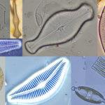 Diatomee: come stabilire la qualità delle acque