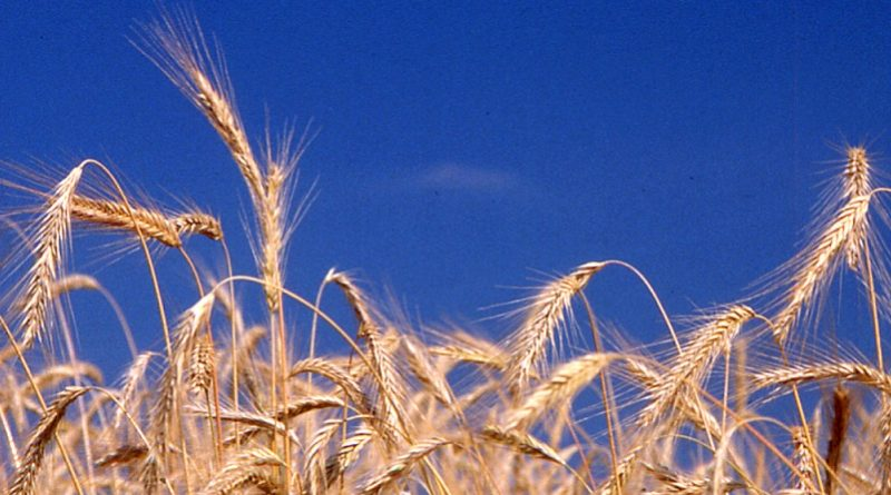 Etichettatura spighe di grano