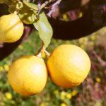 Bergamotto: in Calabria si punta sulla qualità