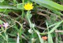 la biodiversità nelle comunità di piante infestanti