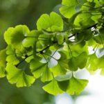 Ginkgo biloba: proprietà ed effetti benefici di una pianta antica