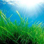 Alga spirulina: tutte le caratteristiche e i suoi effetti sull'organismo