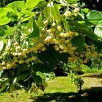 Fiori di tiglio: proprietà benefiche e curative