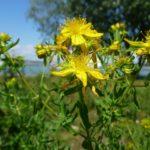 Iperico o erba di San Giovanni: tutte le proprietà benefiche per l'organismo