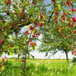 Le ciliegie: ottime per uno spuntino sano e poco calorico