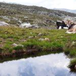Modificate le regole del carico bestiame massimo in Alto Adige