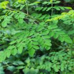 La Moringa oleifera: perchè fa bene all'organismo