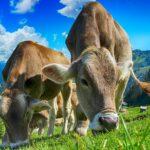Etichettatura sul benessere degli animali a livello dell'Ue