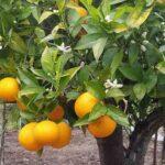 Il Biondo tardivo di Trebisacce e il Verdone di Montegiordano arricchiranno la biodiversità alimentare