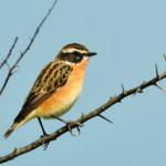 Tutela degli uccelli sulla landa di Malles: aiuti agli agricoltori