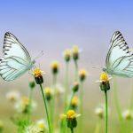 Una campagna per salvare le farfalle dall'estinzione